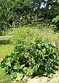 Crambe cordifolia kz01.jpg