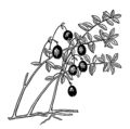 Cranberry plant (PSF).png