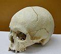 Crani procedent d'un enterrament de la Cova de la Sarsa, Museu de Prehistòria de València.JPG