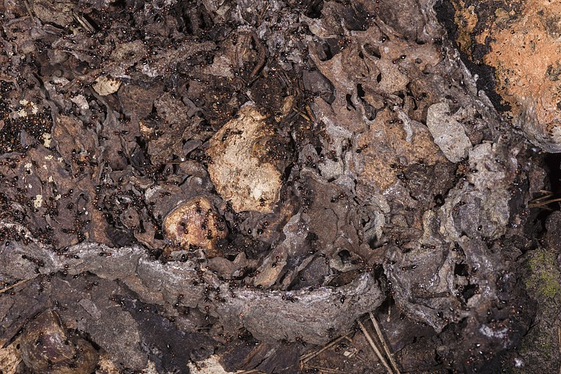 File:Crematogaster scutellaris, Vic-la-Gardiole 06.jpg