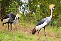 Crested Cranes, Bunyonyi, Uganda (17772552205).jpg