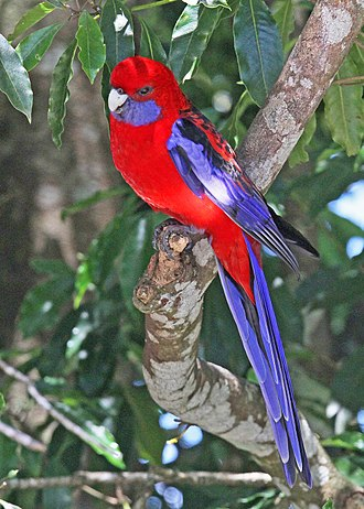 Crimson rosella - Lamington National Park, Queensland, Australia
