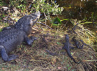 Alligators of various ages in Everglades National Park