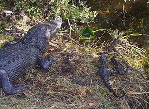 Alligatoridae - An alligator nest at Everglades National Park, Florida, United States