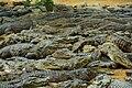 Crocodiles getting rest after feeding in Madras Crocodile Bank Chennai.jpg