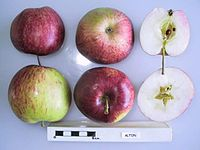 Cross section of Alton, National Fruit Collection (acc. 1966-035).jpg