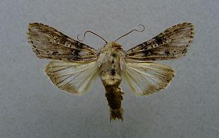 <i>Cucullia absinthii</i> Species of moth