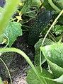 Cultivo del Pepino Cucumber 9.jpg