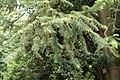 Cunninghamia lanceolata 07.jpg