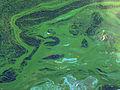 Cyanobacteria 023.jpg