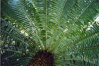 Cycad leaves semicircle.jpg