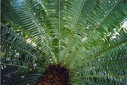 meaning of cycad