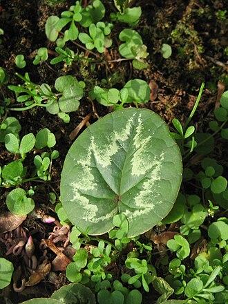 Cyclamen - Christmas tree pattern on a Cyclamen coum leaf
