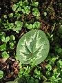 Cyclamen coum leaf.jpg