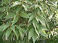 Cyclobalanopsis myrsinifolia2.jpg