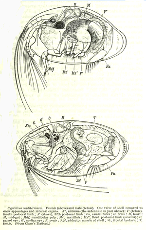 Ostracod - Anatomy of Cypridina mediterranea