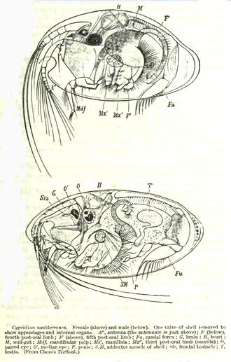 Ostracod - Anatomy of Cypridina mediterranea