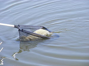 Cyprinus carpio catch.JPG