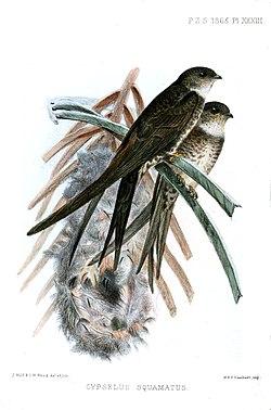 CypselusSquamatusWolf.jpg