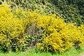 Cytisus scoparius in Tasman Region 03.jpg