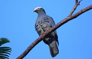 DR White-crowned Pigeon.jpg