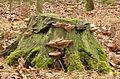 Daedalea quercina - Eichen-Wirrling - oak mazegill - maze-gill fungus - dédalée du chêne - 01.jpg