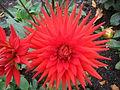 Dahlia 'Scarlet Star'.jpg