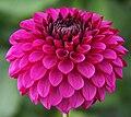 "Dahlia - ""Betty Bowen"" cultivar.jpg"