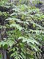 Dahlia excelsa-1-bsi-yercaud-salem-India.jpg