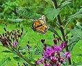 Danaus plexippus (monarch butterfly in flight) (Newark, Ohio, USA) (36236212880).jpg