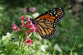 Danaus plexippus in Secret Woods.JPG