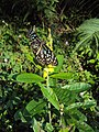 Dark Blue Tiger - Tirumala septentrionis on Crotalaria retusa (6).jpg