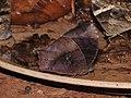 Dark Evening Brown Melanitis phedima by Dr. Raju Kasambe DSCN5881 (2).jpg