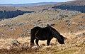 Dartmoor Pony nr Eylesbarrow.jpg