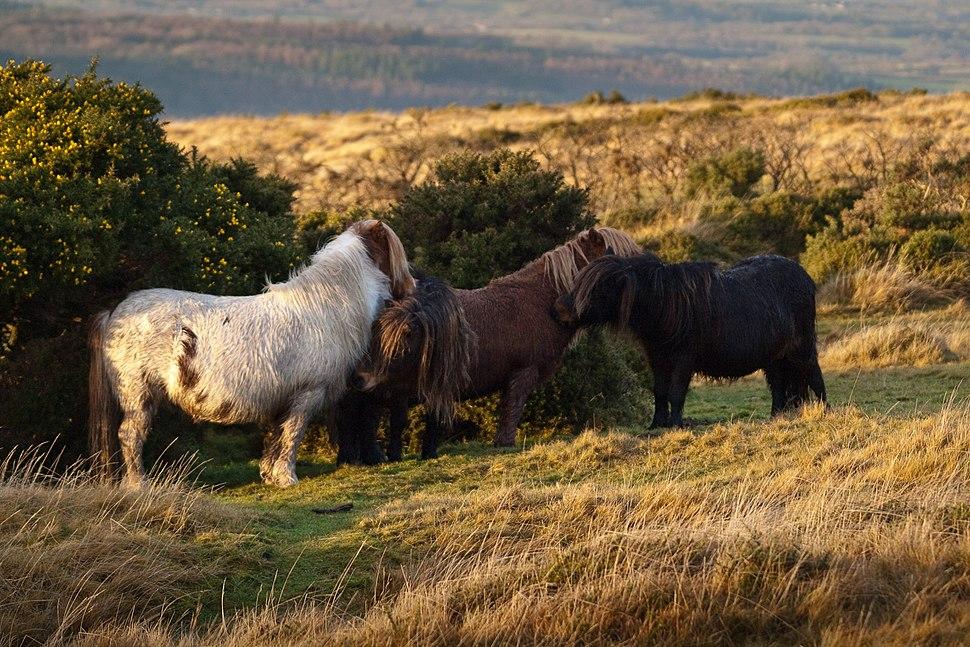 Dartmoor ponies sheltering behind gorse