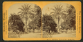 Date palm, Estate of M.J. Brown, Esq, from Robert N. Dennis collection of stereoscopic views 2.png