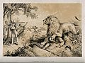 David Livingstone attacked by a lion in Africa. Lithograph. Wellcome V0018847.jpg