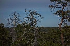Dead pines view.jpg