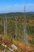 Dead trees - Hornisgrinde 02.jpg