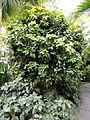 Deherainia smaragdina - Palmengarten Frankfurt - DSC01812.JPG