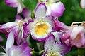 Dendrobium Angel Smile Kibi 8zz.jpg