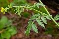 Descurainia incisa - Flickr - aspidoscelis (4).jpg