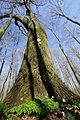 Deutschland Mecklenburg-Vorpommern NSG Friedrichsmoor Stiel-Eiche Foto Ralf Ottmann.jpg