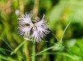 Dianthus hyssopifolius in PNR Pyrenees ariegeoises 06.jpg