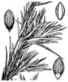 Dichanthelium acuminatum var lindheimeri (as Panicum lindheimeri) HC-1950.png