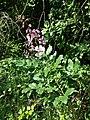 Dictamnus albus sl38.jpg