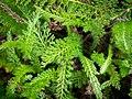 Die Schafgarbe, lat. Achillea millefolium, 'Cerise Queen' 09.jpg