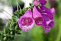 Digitalis purpurea Camelot Rose 1zz.jpg