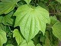 Dioscorea caucasica 2016-05-31 1863.jpg