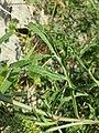 Diplotaxis tenuifolia sl12.jpg